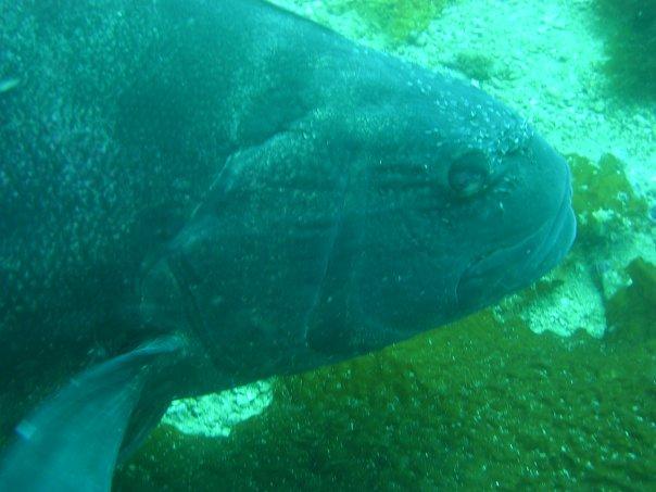 Giant Black Sea Bass: huge Scuba diver Attraction at Santa ...